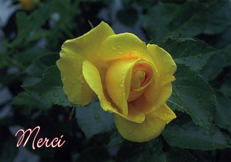 Carte avec message Rose jaune (Merci)